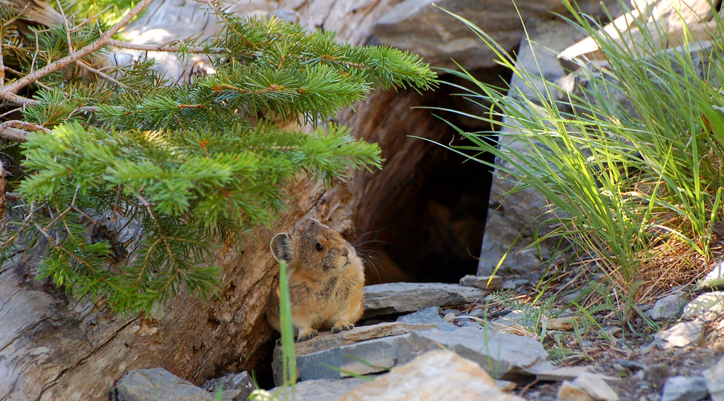 Pika, they are like hamsters with round ears. Only found in the highest areas, they are my biggest challenge to photograph. I hear them throughout my hike but they are almost always hidden.