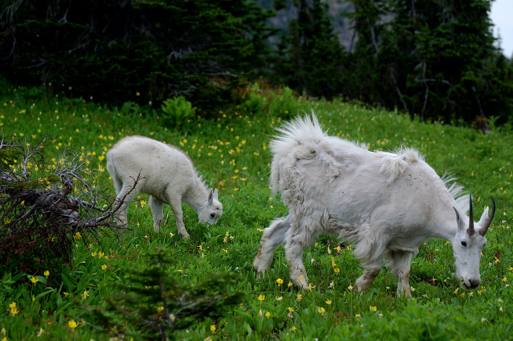 Mother goat and kid near Logan Pass, Glacier National Park