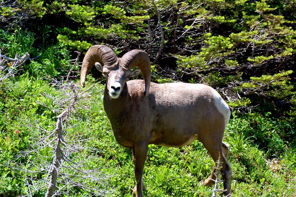 Bighorn Sheep Ram near Logan Pass, Glacier National Park