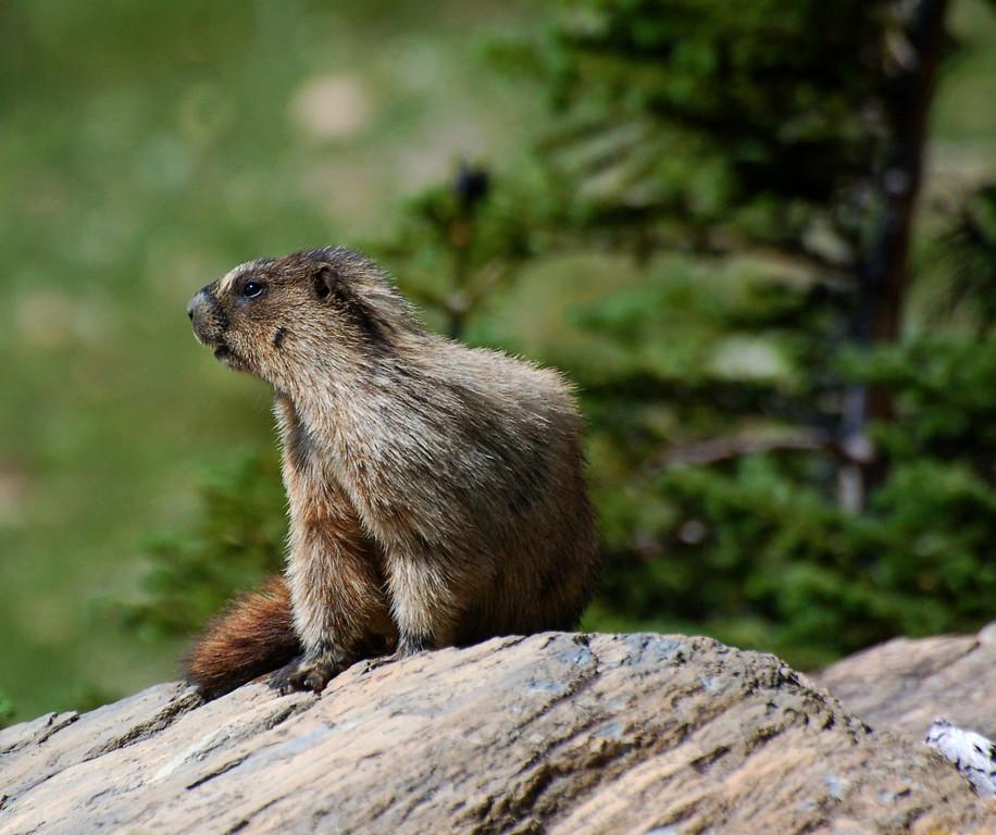 Marmot, the golden retrievers of the alpine areas.