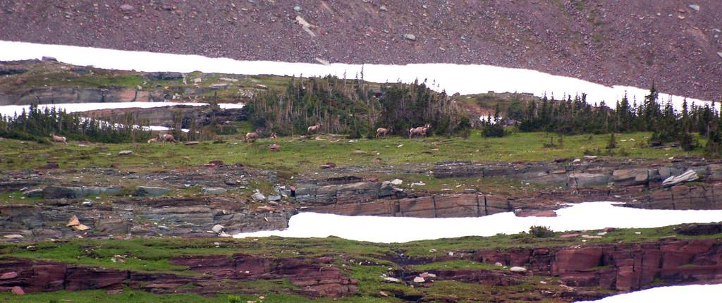 Big Horn sheep herd.