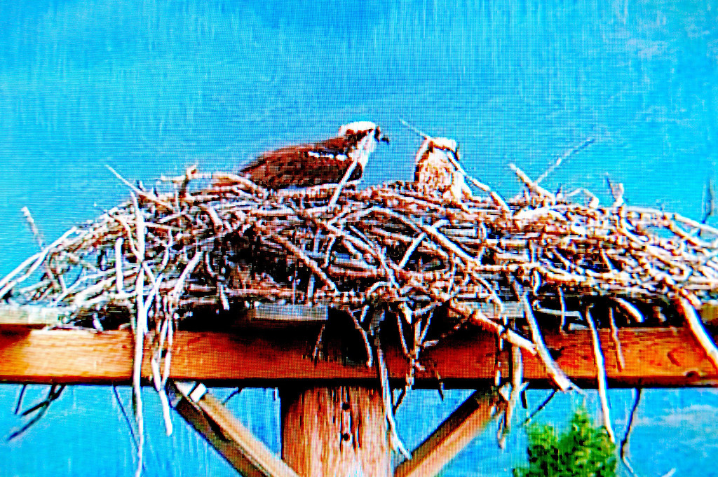 Visitors Center has high resolution display of Osprey nest webcam. The nest has four chicks and is only about 50 yards from the center..