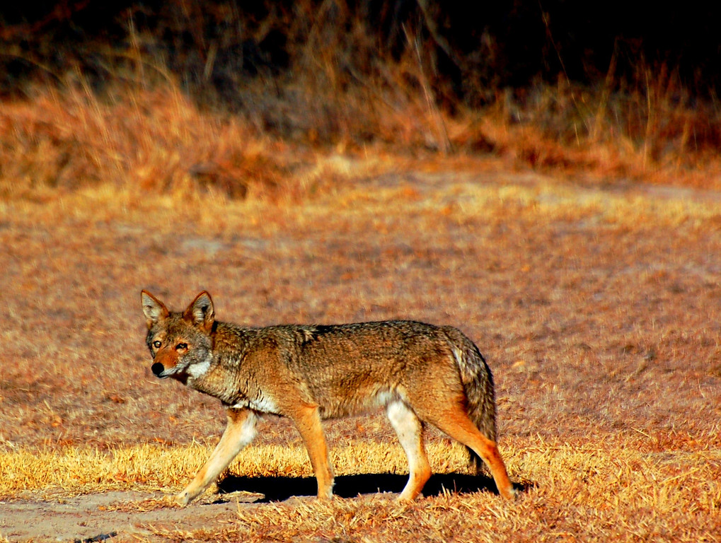 040<br /> Wiley Coyote and other coyotes moved through the campground on their way to the river each morning and evening at Rio Grande Village.