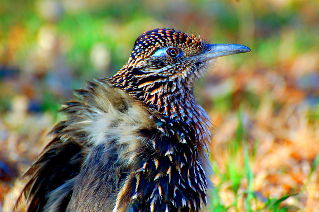 030<br /> When approached, the Roadrunner ruffled his feathers out to look bigger and cackled at me as a defensive gesture.
