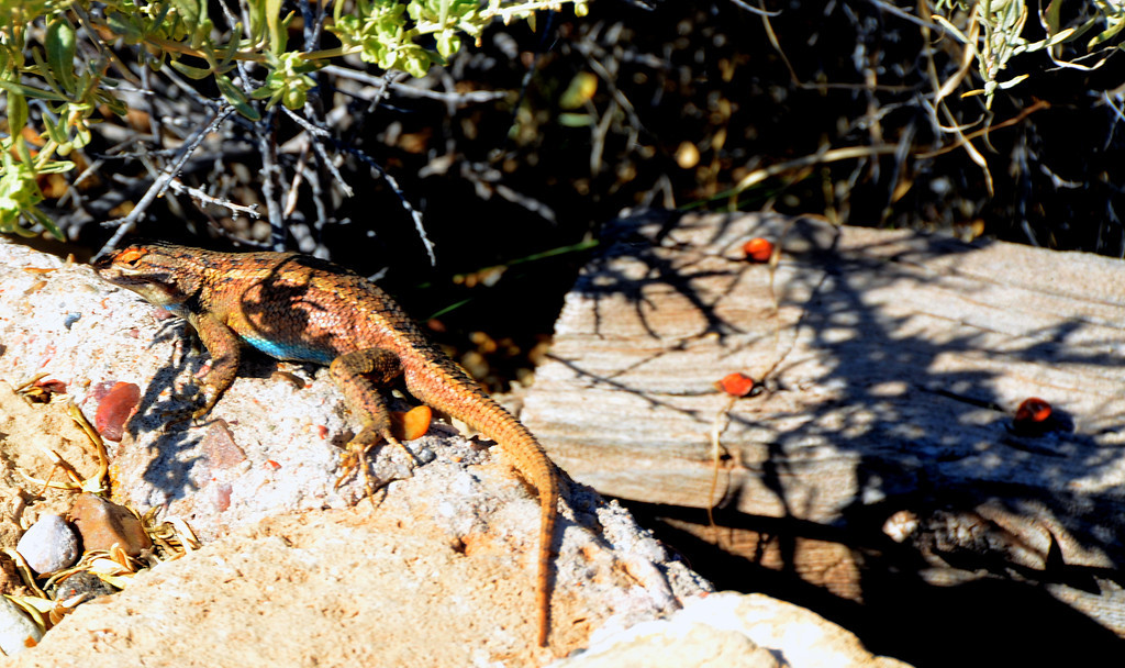 Two Guns population now consists of a large number of lizards.