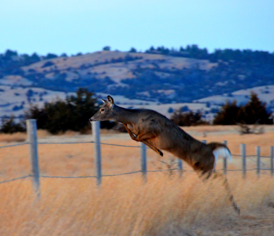 The fences are no obstacle to the deer. They effortlessly clear them. <br /> <br /> As part of the ongoing conservation efforts at the Sanctuary, four-wire fences, with smooth top and bottom wires, are being constructed for the purpose of reducing injuries to fawn deer and other wildlife that go under the fences or those that jump over–especially Mule Deer which more frequently catch their hind legs between the two top wires on barbed wire fences. Spacing the wires 12 inches apart also adds to wildlife safety.