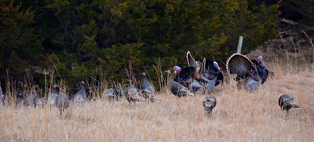 Numerous wild turkeys were seen in the area. These toms were showing off for the hens.