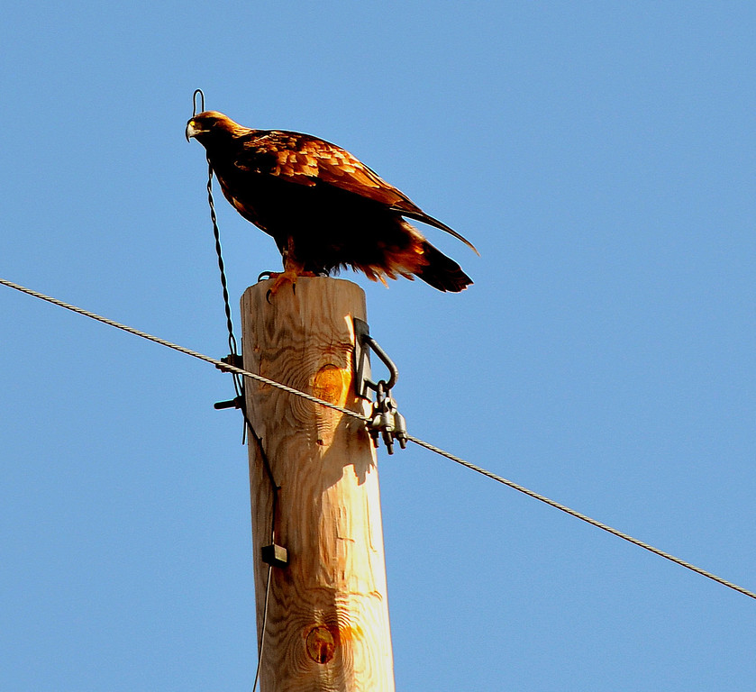 Golden Eagle near the Sanctuary.