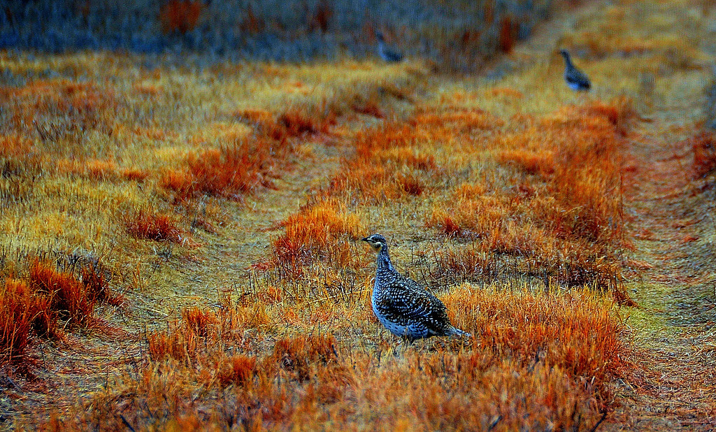 """Sharp-tailed grouse were abundant at the Sanctuary. Their sounds were heard frequently in different areas I visited in the Sanctuary.<br /> <br /> The video of the males fighting below, reminds me of similar behavior I have observed in blinds watching Greater Prairie Chickens in Kansas.<br /> <br /> Calls:<br />  <a href=""""http://www.allaboutbirds.org/guide/sharp-tailed_grouse/sounds/ac"""">http://www.allaboutbirds.org/guide/sharp-tailed_grouse/sounds/ac</a><br /> <br /> Video of fighting for breeding rights:<br /> <br />  <a href=""""http://www.allaboutbirds.org/guide/sharp-tailed_grouse/videos/ac"""">http://www.allaboutbirds.org/guide/sharp-tailed_grouse/videos/ac</a><br /> <br /> Report - Needs to Enhance Prairie Grouse Populations In Native Grasslands of the Hutton Niobrara Ranch Wildlife Sanctuary<br /> <br />  <a href=""""http://www.audubonofkansas.org/Hutton/final%20report%20-%20grouse%20in%20hutton.pdf"""">http://www.audubonofkansas.org/Hutton/final%20report%20-%20grouse%20in%20hutton.pdf</a>"""