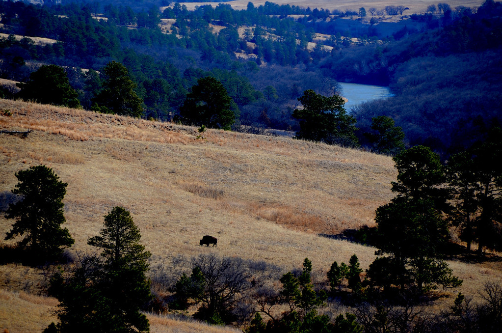 Fort Niobrara National Wildlife Refuge<br /> <br /> The buffalo on the hillside aids the viewer in imagining what Lewis and Clark would have seen in 1804 when they visited the area.<br /> <br /> The wolves, elk, buffalo and bear are no longer naturally there. but the landscape is unchanged.