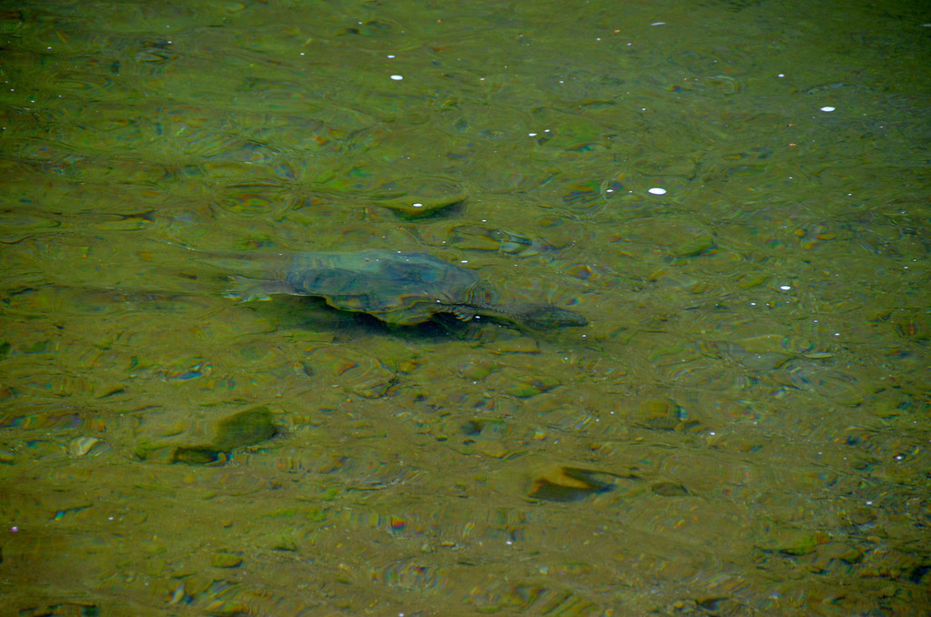 Mr Snapping Turtle