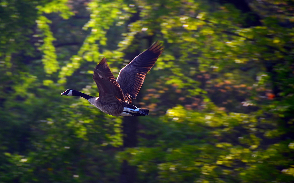 Canadian Goose Over Honey Creek