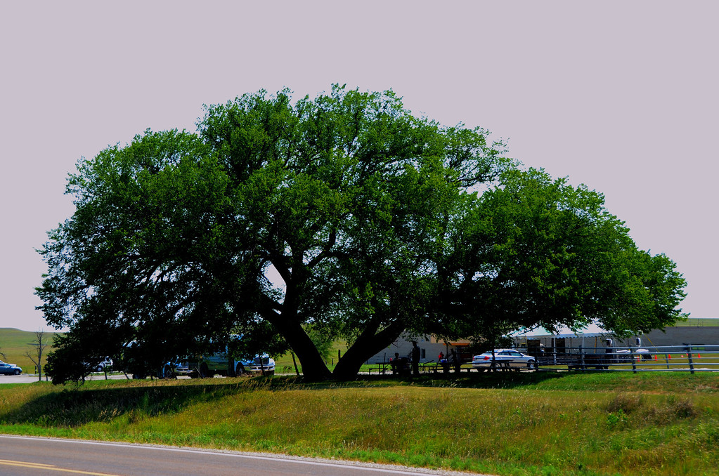 This majestic American elm oversees the event. I suspect it was around when Stephen Jones built the Spring Hill Ranch in the late 1870s.