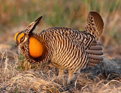 Greater Prairie chicken, photo by Doug Dancer