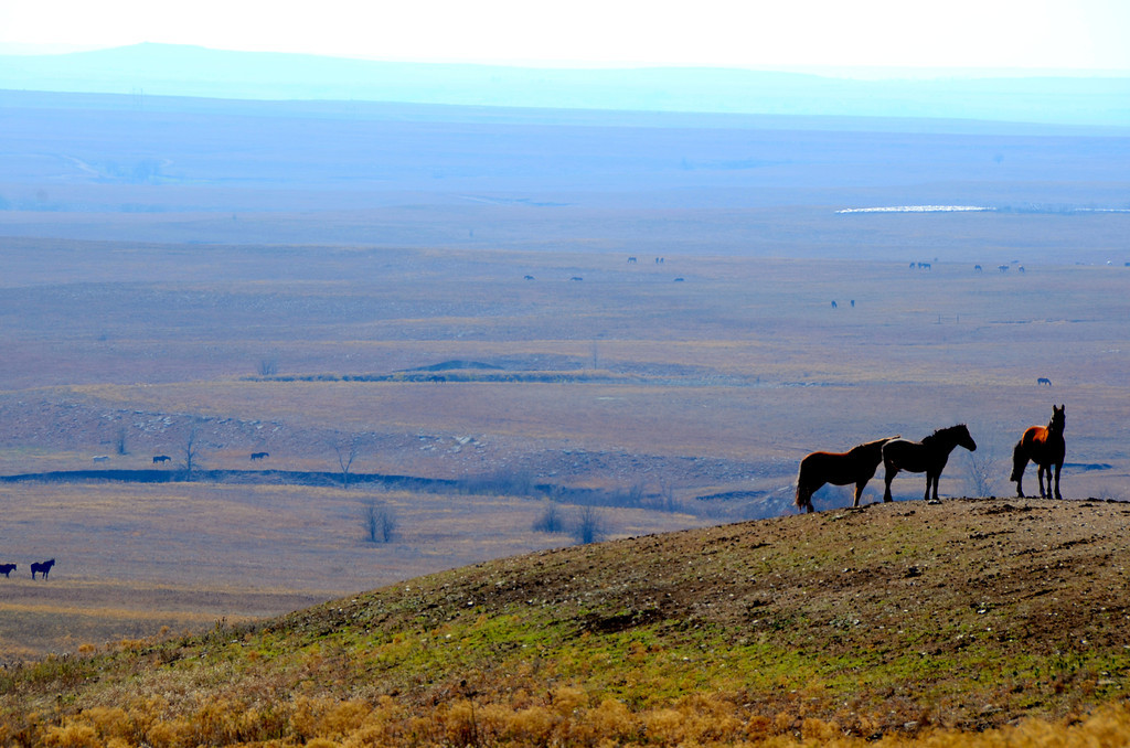 The mustangs seem to travel in small groups and are often observed on ridges where they have better visibility to any predators. Ranchers say they quickly revert back to their groups after been herded together.