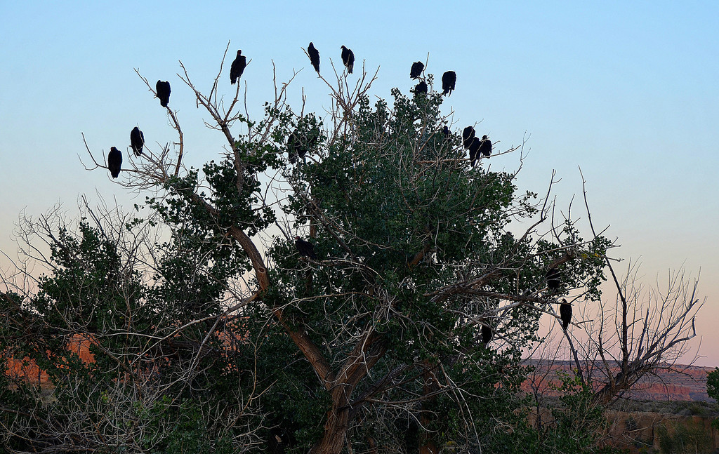 Pueblo Alto Trail<br /> <br /> A gathering of vultures was probably not a good prelude to my hike on the Pueblo Alto Trail. I got an early start the day of my hike to escape the heat later in the day.