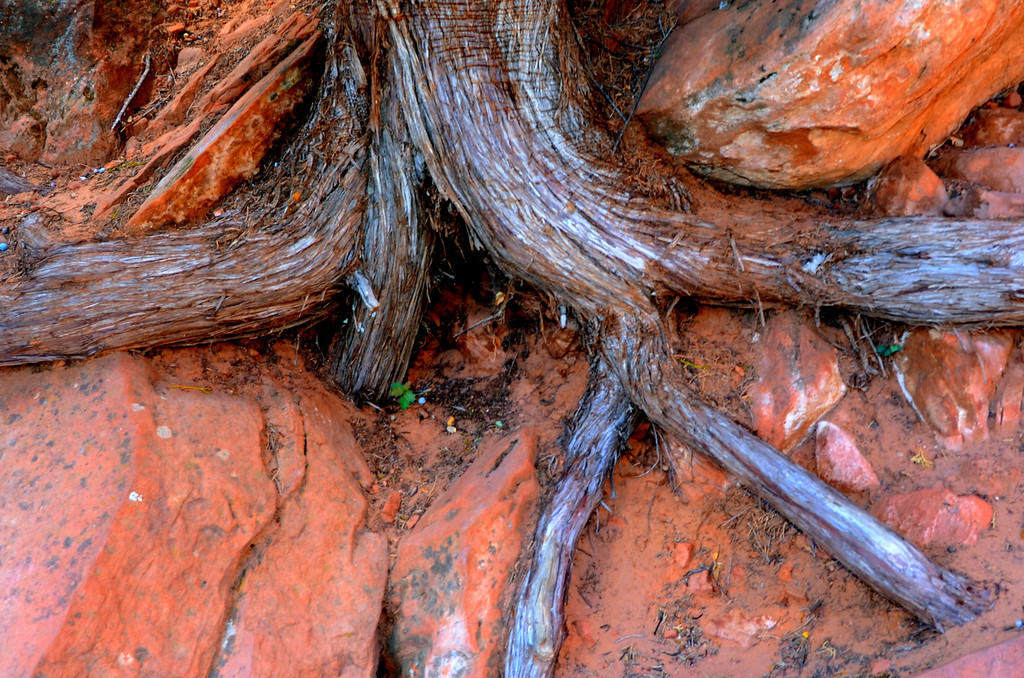 Angel's Landing Hike<br /> <br /> The tenacity of the tree roots always amazes me,
