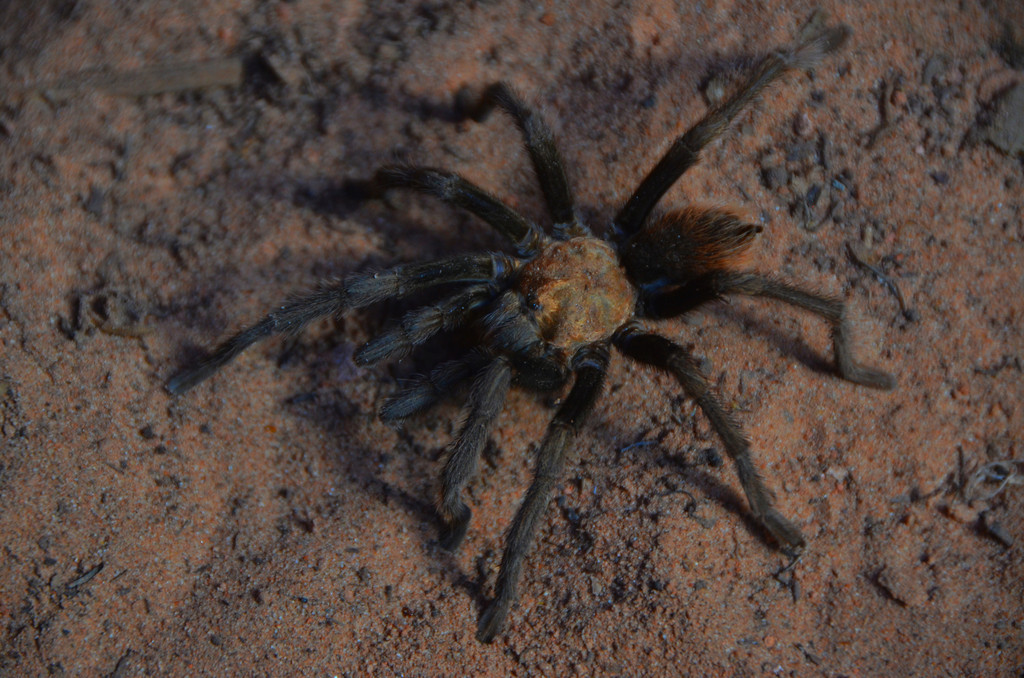 Angel's Landing Hike<br /> <br /> Tarantula males are active this time of the year searching for females concealed in their burrows.