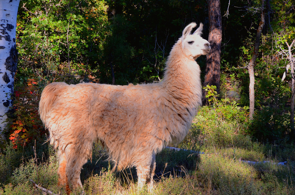 Kolob Terrace Road<br /> <br /> A Llama appears unexpectedly in the forest unaware he is on the wrong continent.