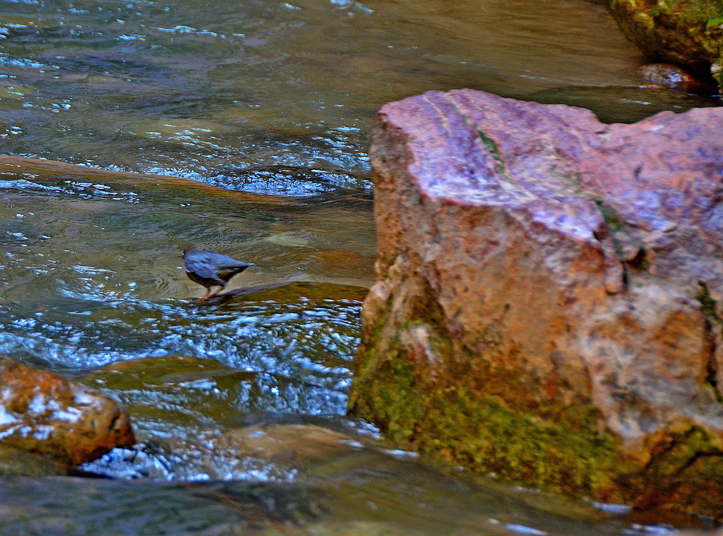 "The Narrows - Water Ouzel<br /> <br /> I spot a Water Ouzel, also known as the American Dipper.<br /> <br /> I first saw one in Glacier National Park years ago and was fascinated as I watched the bird dip below the surface of a fast moving stream while feeding.<br /> <br /> ""With the benefit of several unique adaptations such as an inner protective eyelid and an extra layer of downy feathers, the ouzel dives into cold, often turbulent rivers and streams, swimming, and walking along the bottom of the river. It uses the pressure of water on its wings and tail to help keep it down while it searches for insect larvae and other small animals on which to feed. Both the wings and tail are short, the beak is fairly short and straight, and the general color of the bird is a slate gray. When on shore, it has a custom of ""dipping"" that easily distinguishes it from any other bird along the river.""<br /> <br /> Dipper Swimming Underwater: <a href=""http://www.youtube.com/watch?v=cV6IDY1TSC0"">http://www.youtube.com/watch?v=cV6IDY1TSC0</a>"