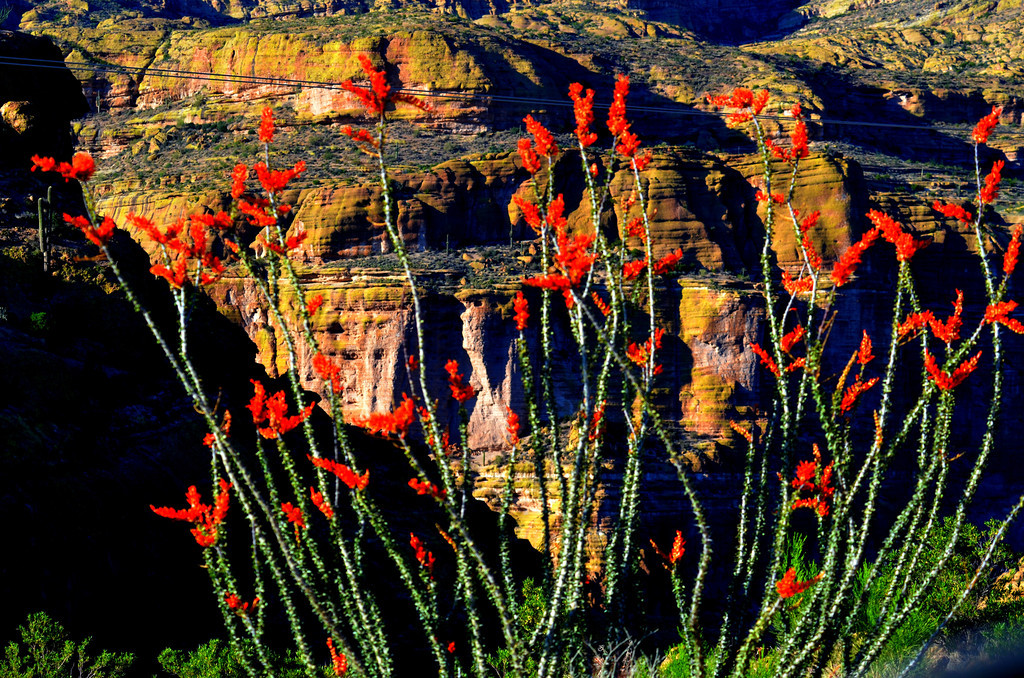 The Ocotillo Cactus were in full bloom along the trail.