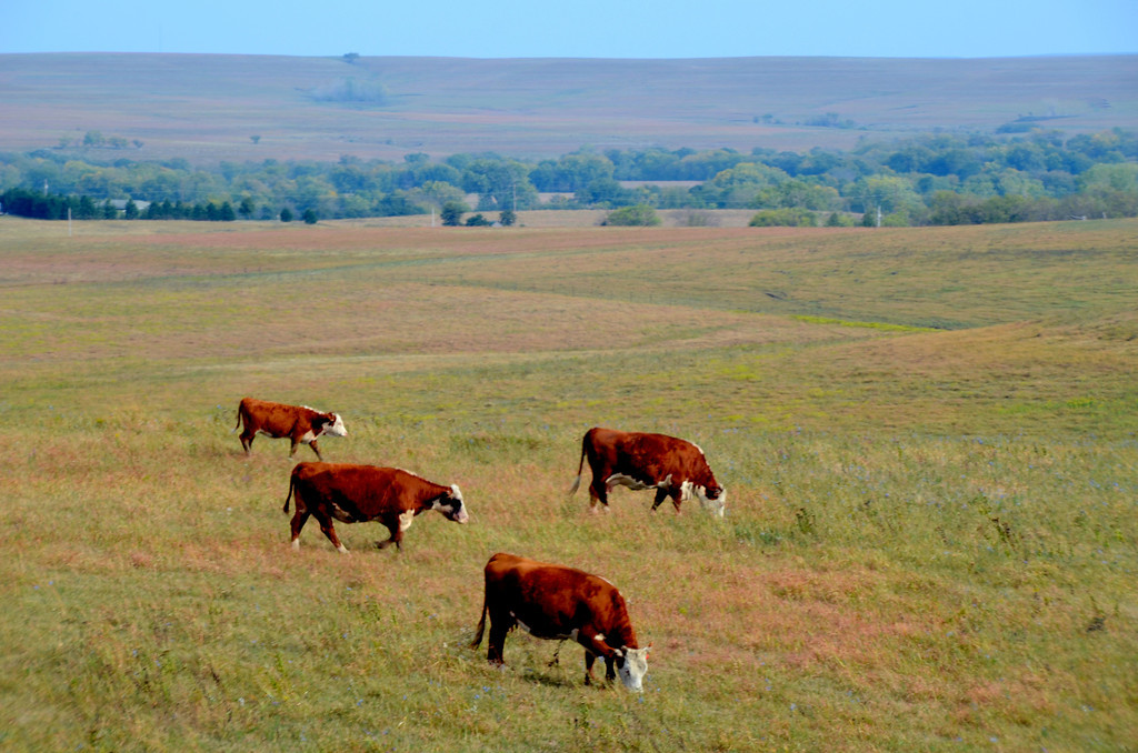 Classic Chase County. Hereford cattle grazing on the rich grass. Cattle put on up to 2 lbs a day grazing on the calcium enriched grass. Before the cattle there were the buffalo.