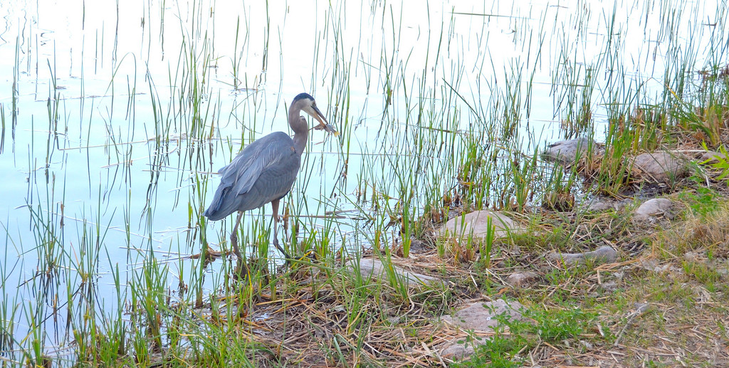 I stop to talk to a couple fishing. Whenever the man catches a bluegill a Great Blue Heron sweeps down and accepts the fish tossed to it.