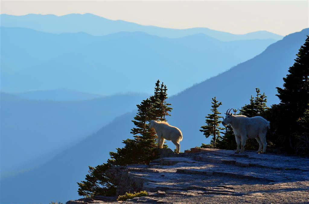August 23<br /> <br /> Near Hidden Lake Overlook I am rewarded with the sight of a mother mountain goat and kid.