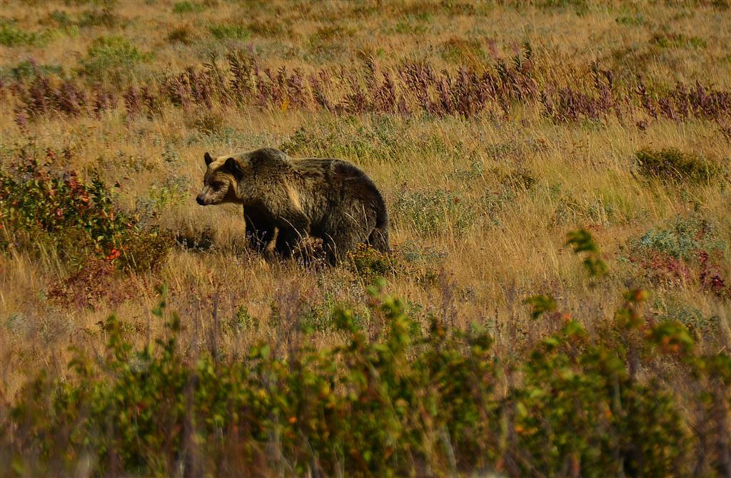 "September 1<br /> <br /> Bear picture of the day. The Ranger tells me this is a 2.5 yr old female on her own. She poses for pictures until a ""Rock Star"" type bus slows above us and uses its air brake. The bear flees like someone threw a flash bang at her. I am always amazed at how fast a grizzly can run."