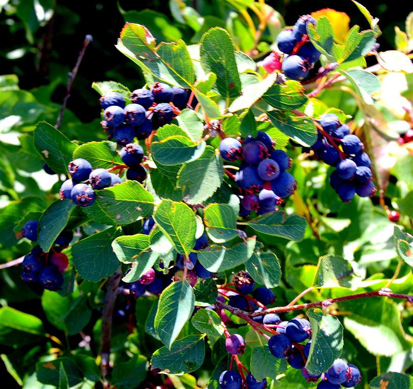 August 24<br /> <br /> My new site has an abundance of service berries much to my  delight.