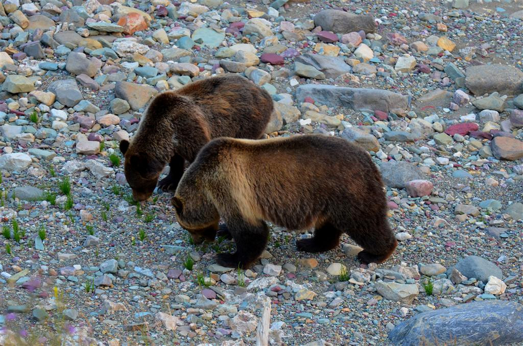 August 28<br /> <br /> Grizzly sow and cub along Sherburne Lake. The cub appears to be a second year cub.