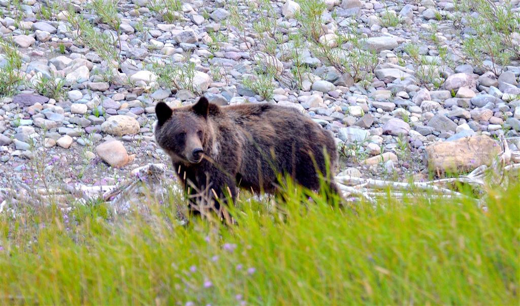 August 28<br /> <br /> Grizzly along Sherburne Lake.