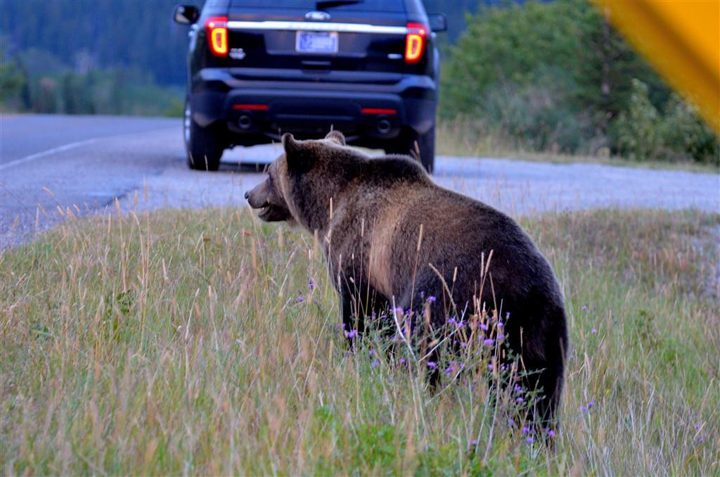 August 28<br /> <br /> <br /> Grizzly sow and cub along Sherburne Lake. Other photographers have showed up by now and are photographing the pair. <br /> <br /> The mother wants to cross near the dam and I ask others not to approach any closer to block the pairs path across the road.