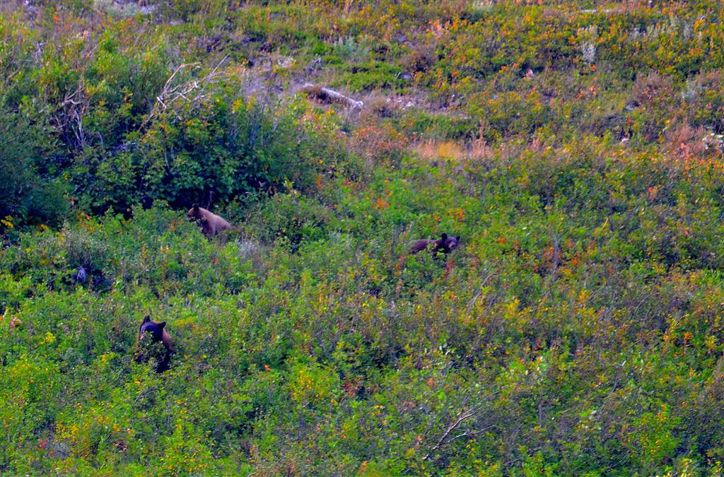 August 28<br /> <br /> A sow black bear is spotted on the hill above me with black and cinnamon cubs.