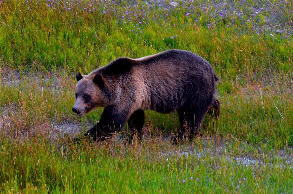 August 28<br /> <br /> Grizzly sow and cub along Sherburne Lake.