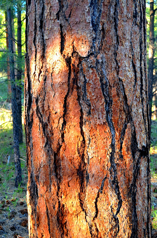 Mature Ponderosa pines are everywhere. The Kaibab has thousands of spots you can pull into and camp under the forest canopy.