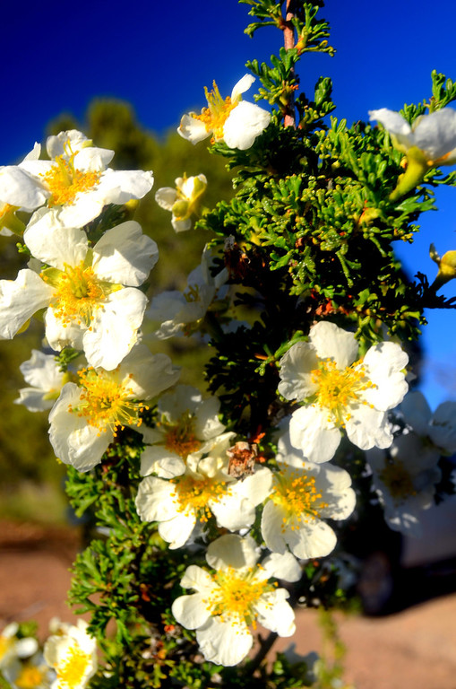 Cliffrose was in boom throughout the canyon rim and very fragrant. It is an important winter feed source for the deer in the area.