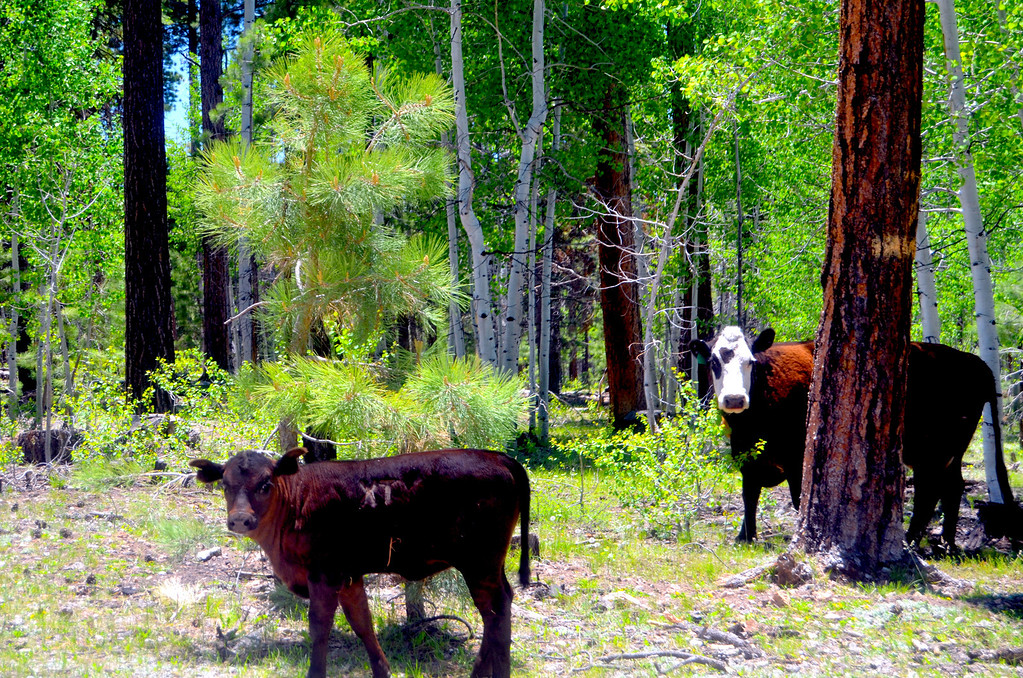 Cows range freely on abundant grass near the canyon rim. I kept my speed down anticipating they would be on the road.