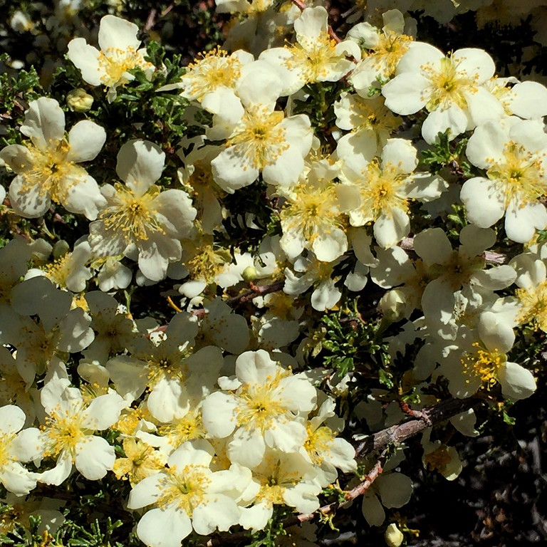 """I first discovered Cliff Rose while camped one time for 5 days in the Kaibab on the edge of the North Rim of the Grand Canyon. I was reacquainted with it and it's magical fragrance on much of my jeep drive along the Schnebly Hill Trail recently. I welcomed it like an old friend. """"Because of its clouds of flowers the cliffrose is the showiest plant in the canyon country... """"<br /> - Desert Solitaire, by Edward Abbey"""
