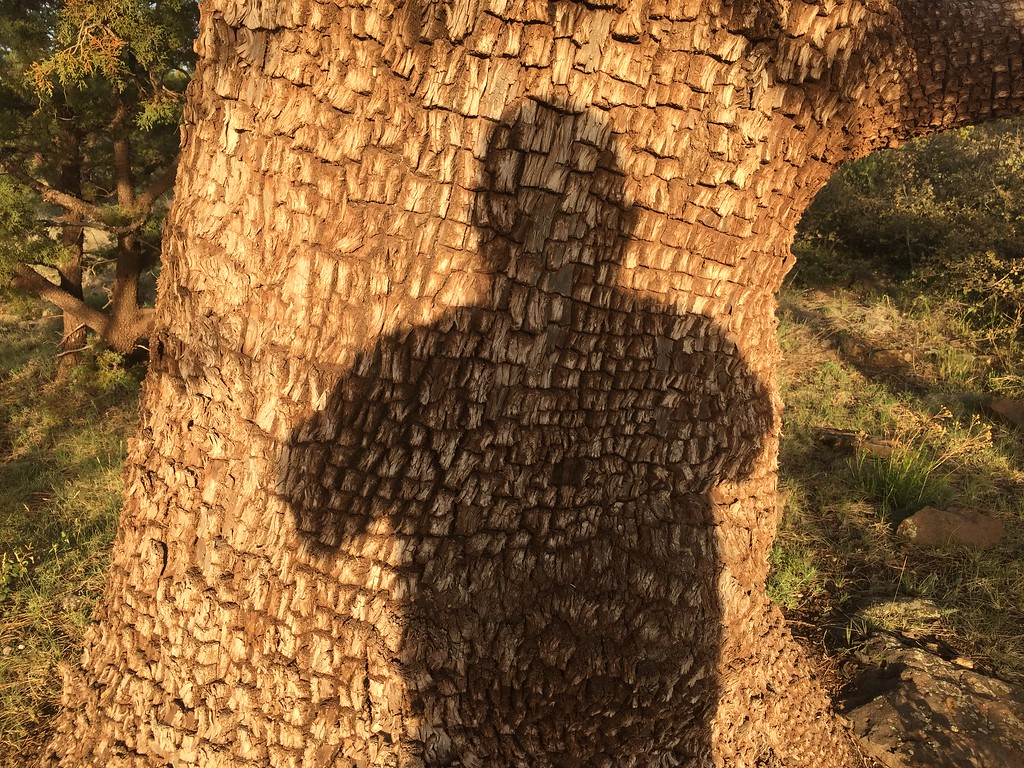 The distinctive bark of the Alligator Juniper. My skin will look like this too when I am a thousand years old.