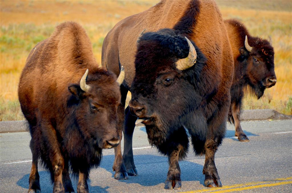 September 5<br /> <br /> Yellowstone National Park<br /> <br /> Bison bull and spouse approach Casita
