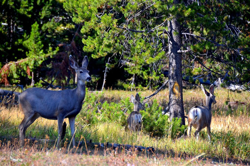 September 9<br /> <br /> Mother deer with two fawns.