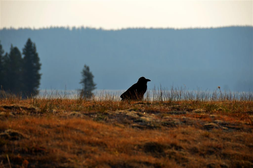September 5<br /> <br /> As always, Mountain Ravens oversee all that happens. They can be a sign that bears are around if they are near a carcass the bears have been feeding on. You hear their hoarse cackling often before you see them.