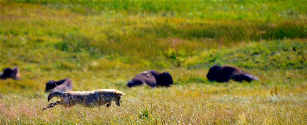 September 8<br /> <br /> He is successful catching the ground squirrel on this leap.