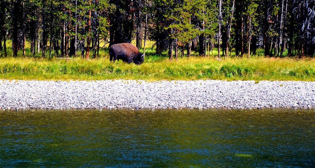 September 8<br /> <br /> Bull Buffalo along Yellowstone River