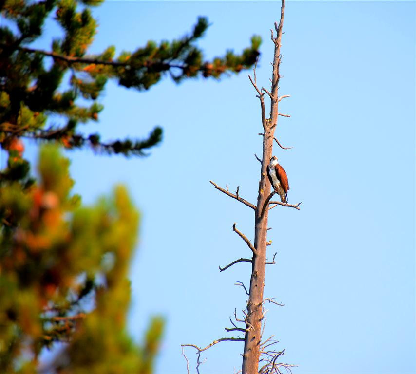 September 5<br /> <br /> Yellowstone National Park - Osprey