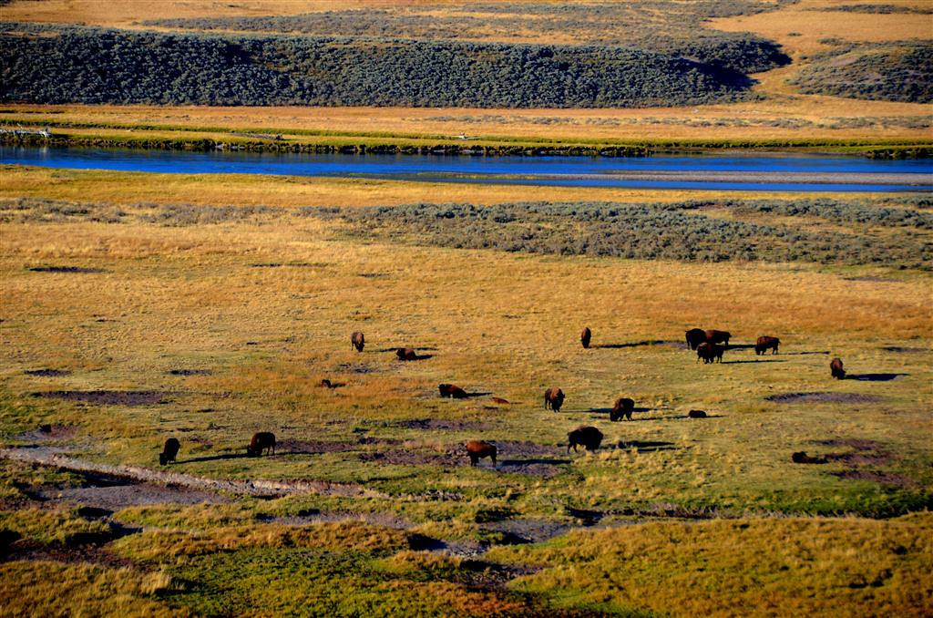 September 8<br /> <br /> Hayden Valley at evening. I stop by each night hoping to see wolves. The buffalo are all there as usual.