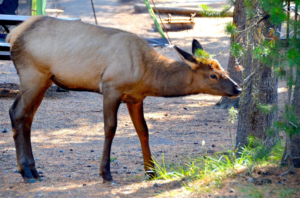 September 5<br /> <br /> Yellowstone National Park<br /> <br /> As I was setting up my Casita in Grant Village Campground a mother elk and young visited me.<br />  <br /> Closeup, a young elk is a beautiful creature.
