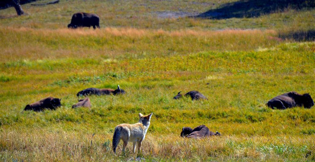 September 8<br /> <br /> Wiley Coyote, the buffalo know he is no match for them. A wolf is a very different story.