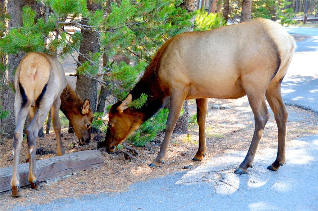 September 5<br /> <br /> Yellowstone National Park<br /> <br /> The mother elk nosed around under trees and uncovered mushrooms which they ate.